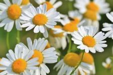 Magical Health Benefits of Chamomile