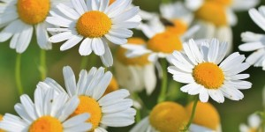 Magical Health Benefits of Chamomile