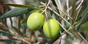 Miraculous Health Benefits of Olive oil