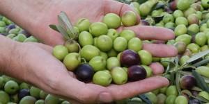 The Secret Health Benefits of Olives